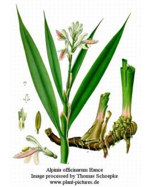 Alpinia officinarum